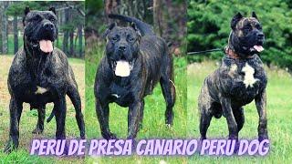 Most dangerous dog in the World (Peru de Presa Canario peru)