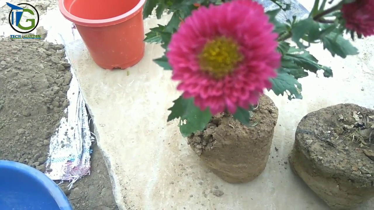 Aster how to plant grow and care for aster flowers youtube aster how to plant grow and care for aster flowers mightylinksfo