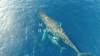 Humpback Whales | Maui, Hawaii (DJI Phantom 4 4k Drone)