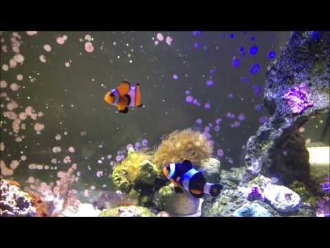 Orange Ocellaris Clownfish Care Guide & Info