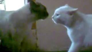 kucing gaduh