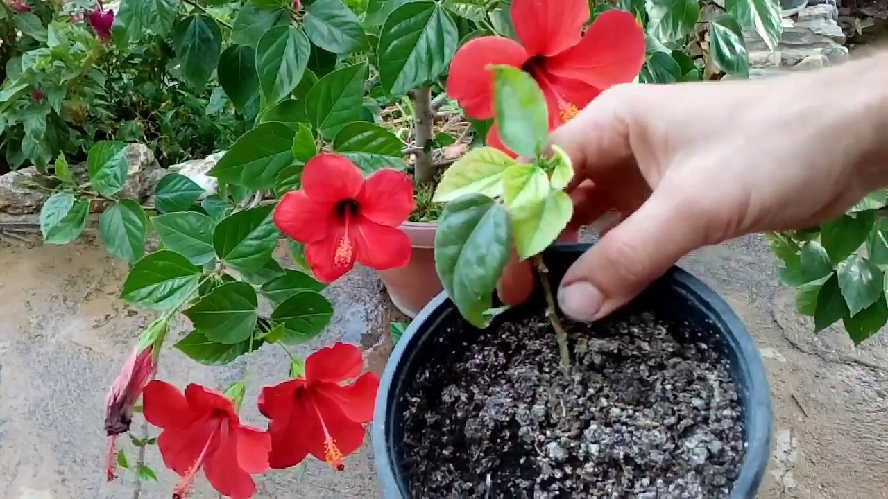 How To Grow Hibiscus From Cutting Youtube