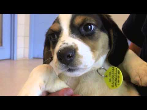 Good Wisconsin Beagle Adorable Dog - hqdefault  Image_911612  .jpg