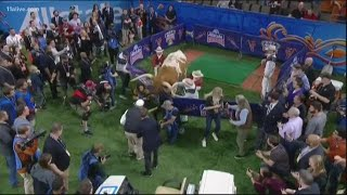 uga-mascot-gets-into-wild-pregame-scuffle-with-bevo-before-sugar-bowl