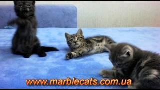 Британские котята окраса вискас (Litter_f_7_weeks)