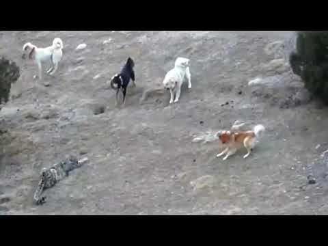 雪豹VS五隻牧羊犬 Snow Leopard Vs 5 Dogs