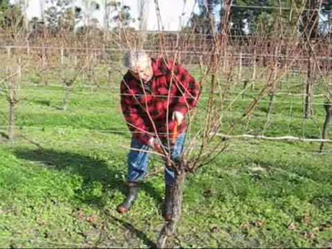 Grape pruning with Jaison Kerr of Kerr Farm Wine at Kumeu, New Zealand.