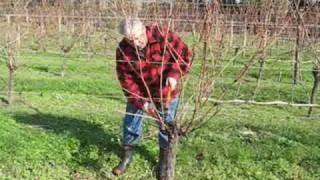Grape pruning with Jaison Kerr of Kerr Farm Wine at Kumeu, New Zealand.