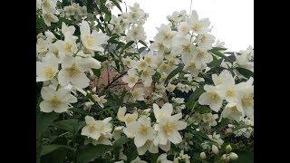 Cum ingrijesti Iasomia ca sa faca sute de flori #ingrijireaflorilor