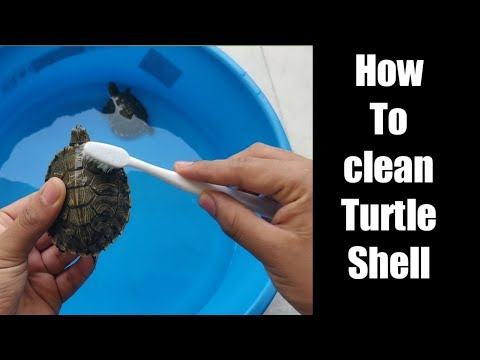 how to clean turtle shell | turtle shell maintainence shiner | Flora and Fauna