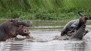 Hippo too Brave ! Hippo Defeat King Swamp to Save Wildebeest and Zebra  - Hippo vs Crocodile Fight