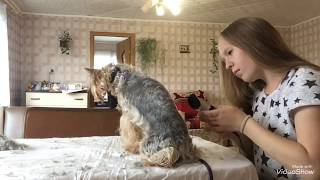 Стрижка йоркширского терьера в домашних условиях || Jessica York
