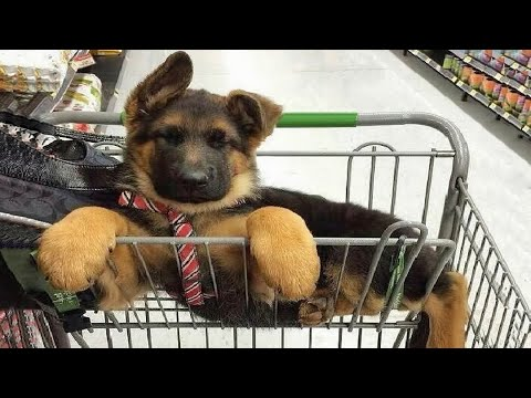 Funniest & Cutest German Shepherd Videos #3 - Puppy Videos 2020