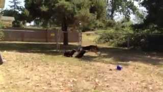 German Shepherd-malinois Mix Playing With Friends