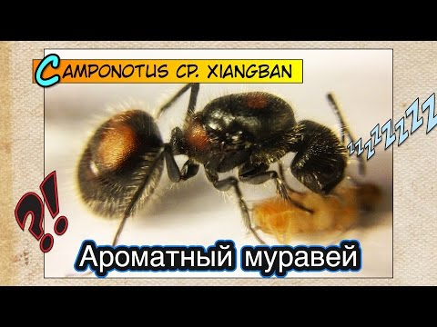 Ароматный муравей: капризный