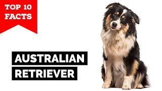 Australian Retriever - Top 10 Facts