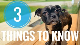 3 Things YOU SHOULD KNOW Before Getting a Boston Terrier Pug!