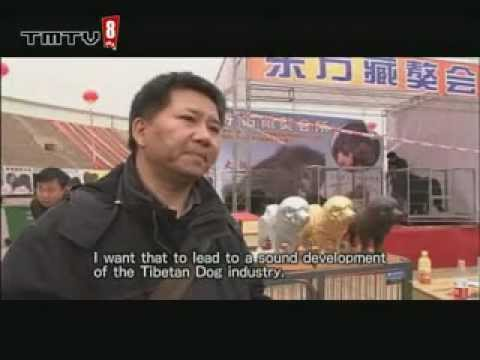 china how tibentan dog breeders (www.tmtv8.com)