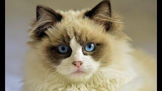 Ваша кошечка понравилась моей жене, уступите нам кошку