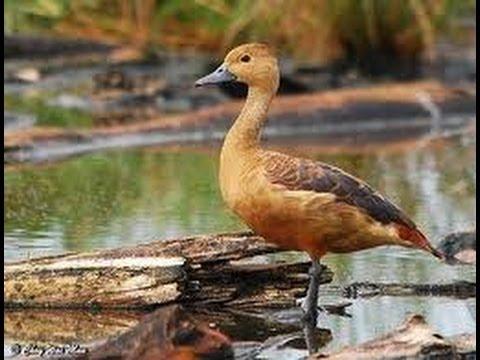 Burung Master : Burung Belibis Master Alternatif