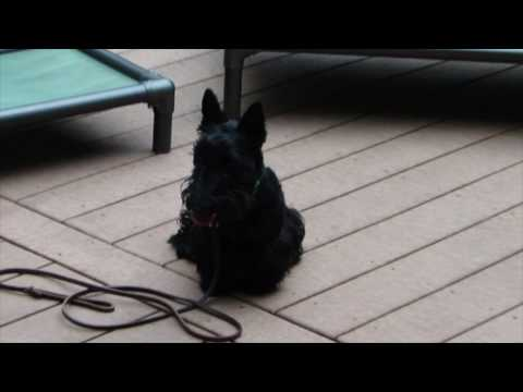 Sadie 8 Month Old Scottish Terrier- Basic Obedience at Cat For Dogs.
