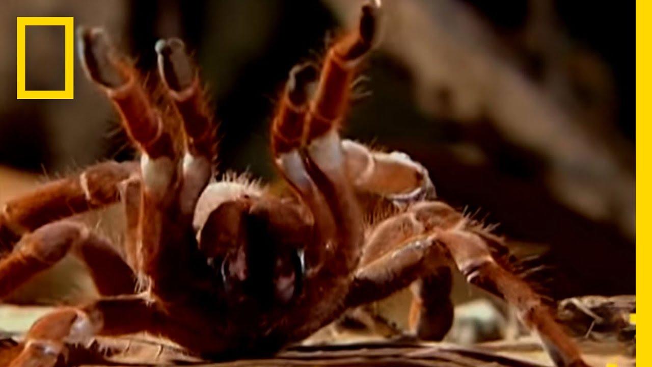 Giant Tarantula National Geographic Youtube