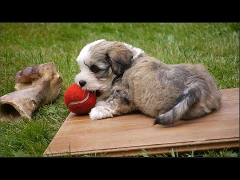 Havanese - funny little dogs - playing puppies - lustige spielende Havaneser