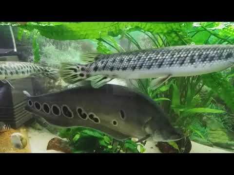Аквариум 500л.кормление хищников(змееголов,краснохвостый сом,индийский нож)#34