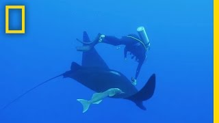 Watch: Camera Put on Giant Manta Ray for First Time Ever