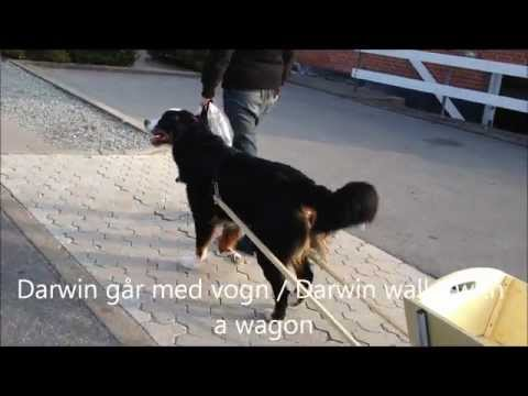 Darwin - Bernese Mountain dog 1½ years old - Mini trick video