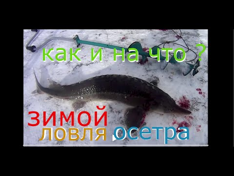 ЛОВЛЯ ОСЕТРА В ПОДМОСКОВЬЕ, КРАСНОГОРСК БИГ КАРП ,FISHING FOR ...