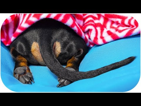 Dachshund winter hibernation! Cute and funny dog video!