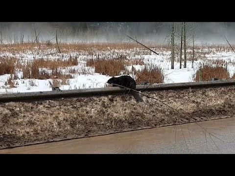 graceful-canadian-beaver-see-why-driver-laughs-in-funny-encounter
