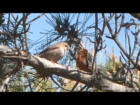 House Finch Song