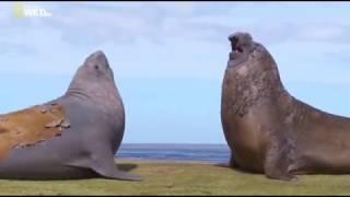 Удивительные существа (Морские слоны)