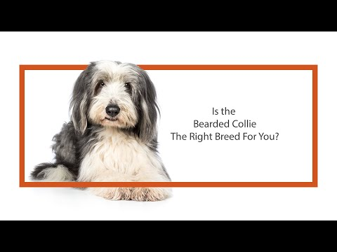 Everything you need to know about Bearded Collie puppies! (2019)