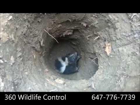Skunk Rescue by 360 Wildlife Control