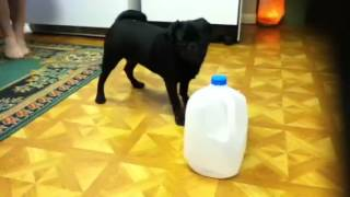 Edward The Pug Doesn't Like Gallon Size Water Bottles