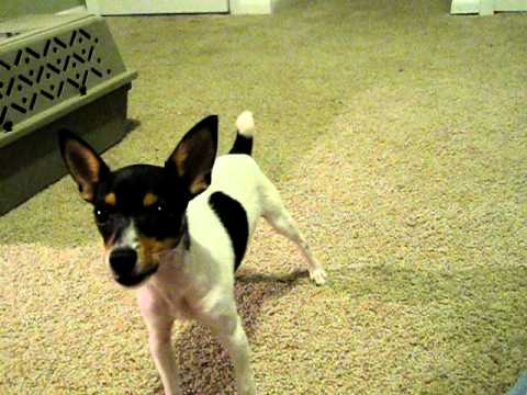 Toy Fox Terrier Pup Howling