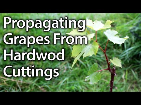 How to Propagate Grape Vines from Hardwood Cuttings Successfully