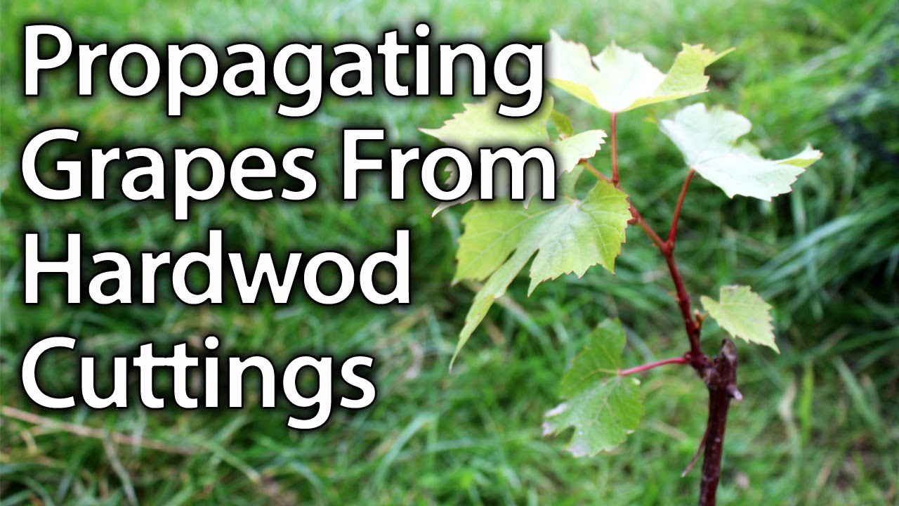 How To Propagate Grape Vines From Hardwood Cuttings