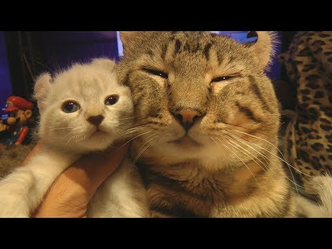 "WARNING - Exotic Cat Goliath "" Shows off His New Kittens Amazing Video"