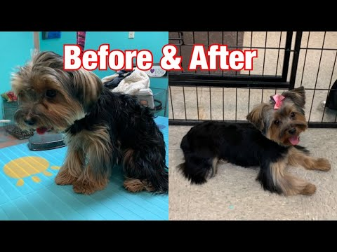 Grooming a Yorkshire Terrier 🐶 puppy cut 🐶 round Teddy Face.