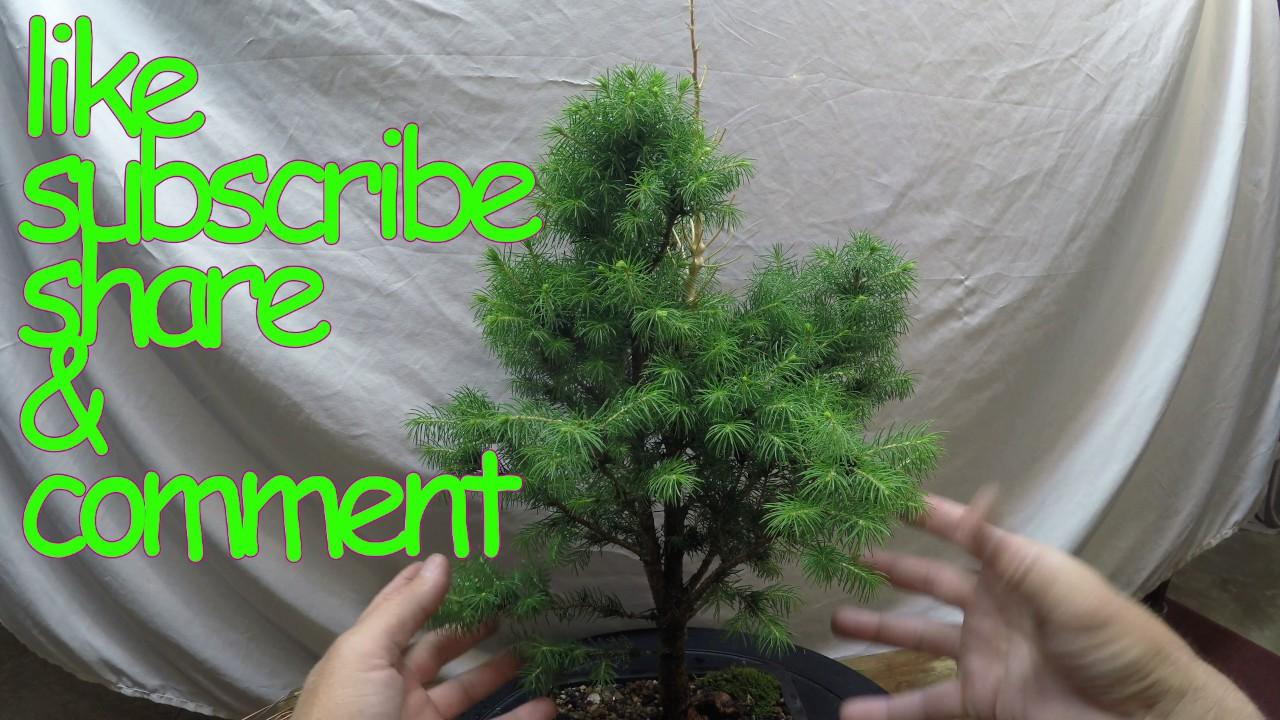 Dwarf Alberta Spruce How To Turn Nursery Stock Into Bonsai
