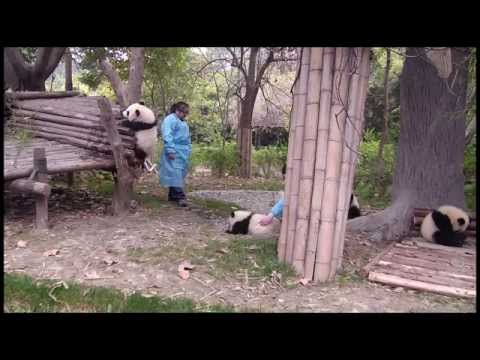 Keepers playing with panda cubs