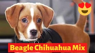 All about the Adorable Beagle Chihuahua Mix (Cheagle) | Should you get a Cheagle?