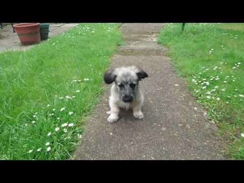 Skye terrier puppy in garden 'dora'