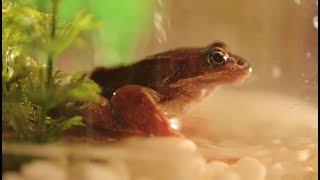 На что похожи лягушачьи лапки и как их приготовить?