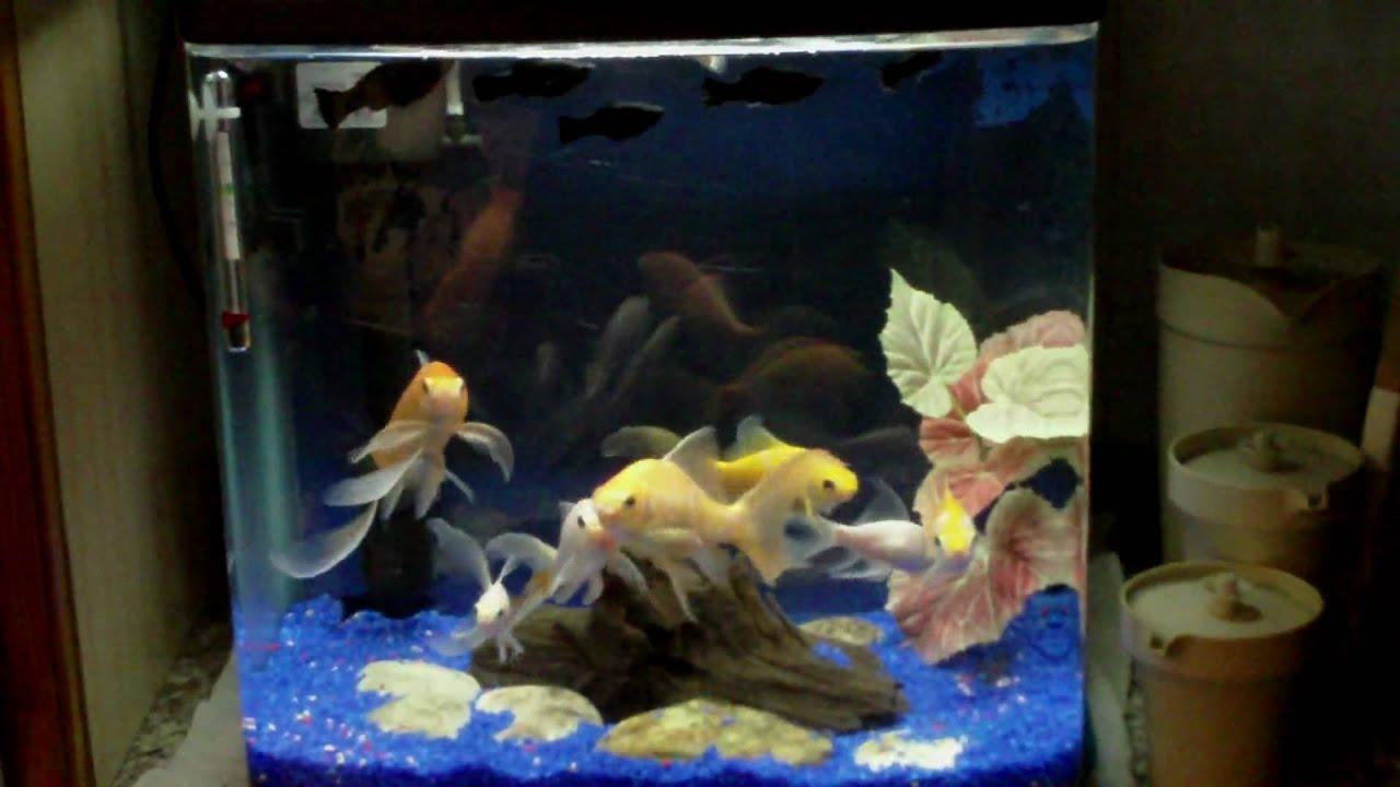Acquario di pesci rossi youtube for Pesci rossi acquario