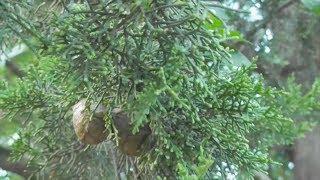 Кипарис и его шишки. Лесные зарисовки